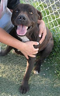 Pit Bull Terrier Mix Dog for adoption in San Pablo, California - BLOCKHEAD
