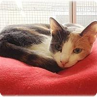 Calico Cat for adoption in Huntington, New York - Reba
