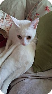 Domestic Shorthair Cat for adoption in Nashville, Tennessee - Itsy