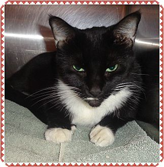 Domestic Shorthair Cat for adoption in Marietta, Georgia - JOELLE