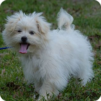 Brie  Adopted Puppy  Anderson SC  MaltesePoodle (Toy or Tea  : Maltese Puppies For Sale In Anderson Sc