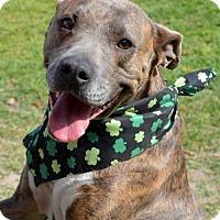 American Pit Bull Terrier Mix Dog for adoption in Ridgeland, South Carolina - Miracle
