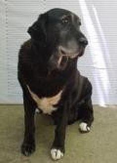 Labrador Retriever/Bloodhound Mix Dog for adoption in Winnsboro, South Carolina - Latti
