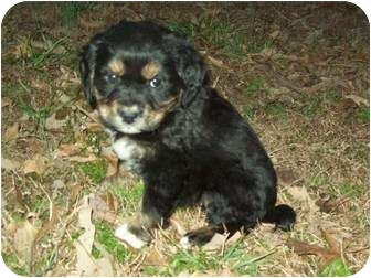 Cavalier King Charles Spaniel/Cocker Spaniel Mix Puppy for adoption in Chattanooga, Tennessee - Charlie