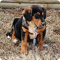 Adopt A Pet :: Emily - Brattleboro, VT