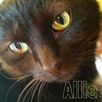 Domestic Shorthair Cat for adoption in Grand Blanc, Michigan - Allie