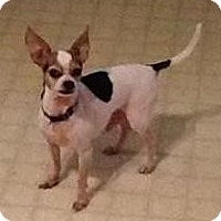 Chihuahua Dog for adoption in Columbus, Ohio - Charley Bear