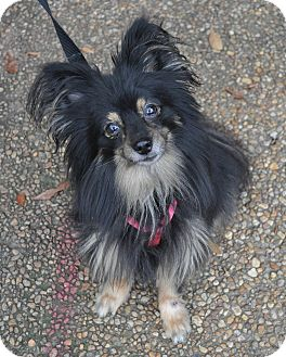 Pomeranian/Papillon Mix Dog for adoption in Atlanta, Georgia - Kirby