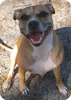 Boxer Mix Dog for adoption in Voorhees, New Jersey - Baby Regan