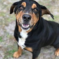 Adopt A Pet :: TUCKER - Odessa, FL