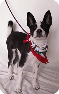 Karelian Bear Dog Mix Puppy for adoption in Aurora, Colorado - Sadie