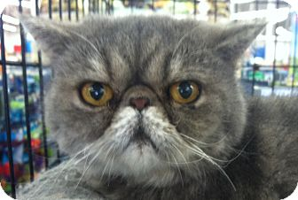 Persian Cat for adoption in Winchester, California - Patty