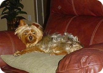 Yorkie, Yorkshire Terrier Mix Dog for adoption in Tucson, Arizona - Yorkie