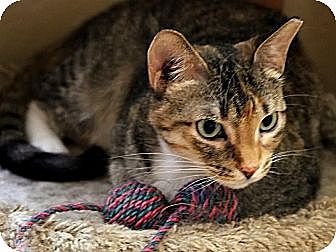 Domestic Shorthair Cat for adoption in Round Rock, Texas - Penny