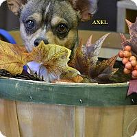 Adopt A Pet :: AXEL - Higley, AZ