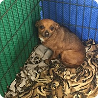 Chihuahua Mix Dog for adoption in Elk Grove, California - RUSA