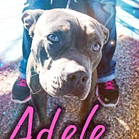 Bulldog/American Pit Bull Terrier Mix Dog for adoption in Odessa, Texas - Adele
