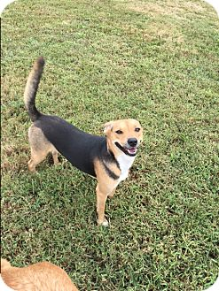 Beagle Mix Dog for adoption in Russellville, Kentucky - Daisy B