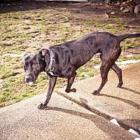 Labrador Retriever/Border Collie Mix Dog for adoption in Manhasset, New York - Linus