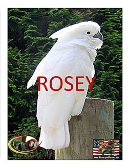 Cockatoo for adoption in Vancouver, Washington - ROSEY The Umbrella Cockatoo
