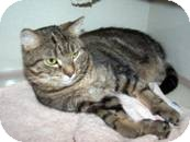 Domestic Shorthair Cat for adoption in West Dundee, Illinois - annabelle