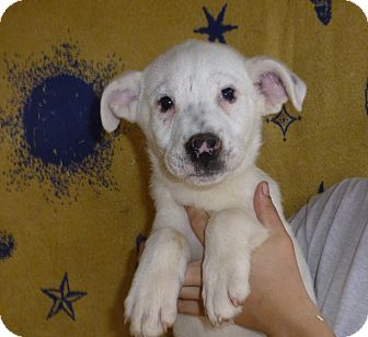 German Shepherd Dog/Labrador Retriever Mix Puppy for adoption in Oviedo, Florida - April