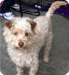 Poodle (Miniature)/Terrier (Unknown Type, Small) Mix Dog for adoption in Salt Lake City, Utah - SPENCER