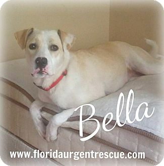 Labrador Retriever/Alaskan Malamute Mix Dog for adoption in Jacksonville, Florida - Bella