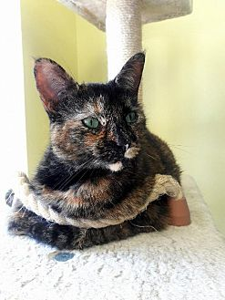 Domestic Shorthair Cat for adoption in Leonardtown, Maryland - Daphne