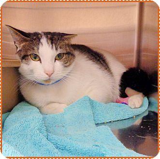 Domestic Shorthair Cat for adoption in Marietta, Georgia - SEBASTIAN