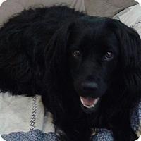 Retriever (Unknown Type)/Spaniel (Unknown Type) Mix Dog for adoption in Acworth, Georgia - Gracie