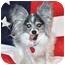 Photo 4 - Papillon Dog for adoption in Jacksonville, Florida - Loki-Heartworm Positive