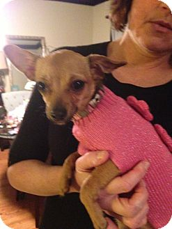Chihuahua Mix Puppy for adoption in Chicago, Illinois - Pumpkin
