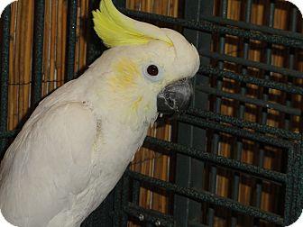 "Cockatoo for adoption in Vancouver, Washington - ""K"" A 17 Year Old Skittish Fem"