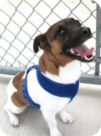 Jack Russell Terrier Mix Dog for adoption in Jackson, Michigan - Beto