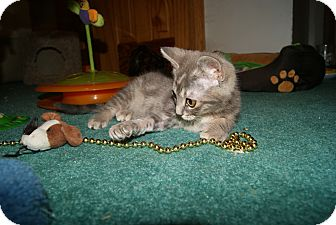 Domestic Shorthair Kitten for adoption in Trevose, Pennsylvania - Polly aka Possum