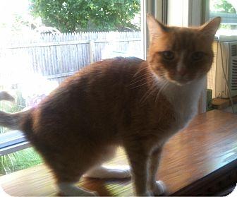 Domestic Shorthair Cat for adoption in Horsham, Pennsylvania - Jill