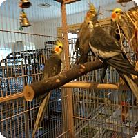 Adopt A Pet :: Flock of 4 Cockatiels - Punta Gorda, FL