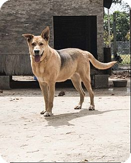 Shepherd (Unknown Type) Mix Dog for adoption in Key Biscayne, Florida - Grace