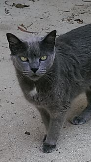 Domestic Shorthair Cat for adoption in Naples, Florida - Boots