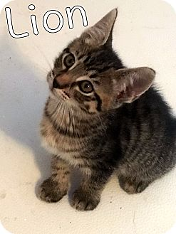 Domestic Shorthair Kitten for adoption in Trevose, Pennsylvania - Lion