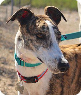 Greyhound Dog for adoption in Tucson, Arizona - Goody