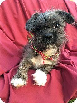 Shih Tzu/Pug Mix Puppy for adoption in Los Angeles, California - Rasta