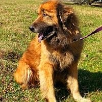 Adopt A Pet :: Charles - Simsbury, CT