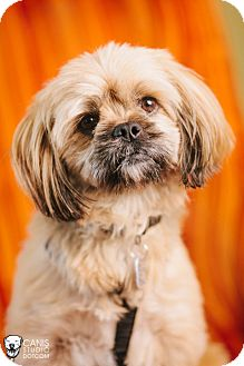 Yorkie, Yorkshire Terrier/Lhasa Apso Mix Dog for adoption in Portland, Oregon - Bubba