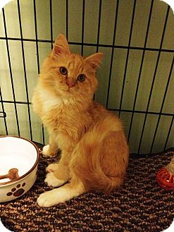 Domestic Longhair Cat for adoption in Port Republic, Maryland - Ray