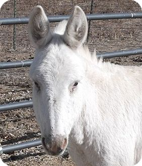 Donkey/Mule/Burro/Hinny Mix for adoption in Bennett, Colorado - Flossy