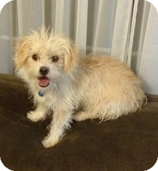 Terrier (Unknown Type, Small) Mix Dog for adoption in Las Vegas, Nevada - Larry