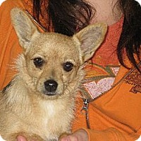 Pomeranian/Chihuahua Mix Dog for adoption in Westport, Connecticut - Our little Cupcake Courtney
