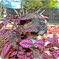 Adopt A Pet :: Maya - Orlando, FL